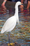 White Crane Bird Stock Images