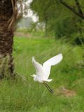 White crane bird in flight Royalty Free Stock Photos