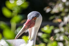 White Crane Close Up in Sidelight Royalty Free Stock Image