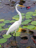White Crane of Cuba Royalty Free Stock Photos