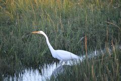 White crane in the grass royalty free stock photo