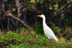 White crane in light tropical rain Royalty Free Stock Images