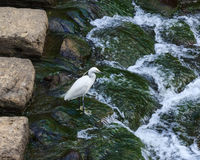 White crane at Nakashima river in Nagasaki Royalty Free Stock Photos