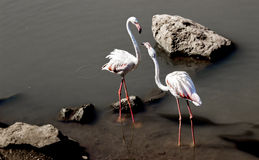White crane in pond Royalty Free Stock Photography