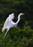 The White Crane. Is quivering its wings and about to fly Stock Image