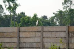 White Crane sitting on Boundary Wall. Picture of a white crane just sitting on Boundary wall near by a private school premise royalty free stock photos
