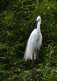 The White Crane. Is standing on the bamboo Stock Images