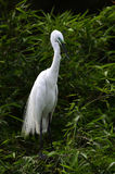 The White Crane. Is standing on the bamboo Royalty Free Stock Photo