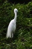 The White Crane Royalty Free Stock Photo