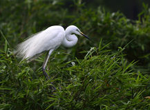 The White Crane. Is standing on the bamboo Stock Image