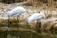 White crane Stock Image