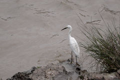 A white crane standing on stone Stock Images
