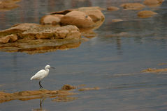 A white crane standing on stone Royalty Free Stock Photography
