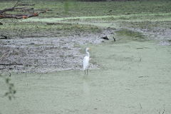 White crane stands against the green algae. The green algae water swirls against the lily pads as the white crane stands fishing Royalty Free Stock Image