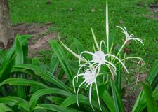 White cranium flowers. White Crinum bloom beautifully in the garden royalty free stock photos
