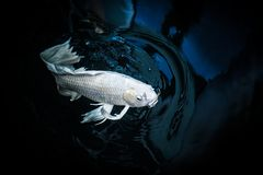 White crap fish or butterfly koi fish. Platinum color in pond Stock Image