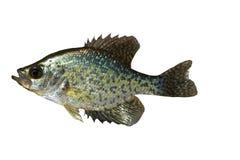 White Crappie  (pomoxis). White Crappie (pomoxis) fish isolated over white background Stock Photo