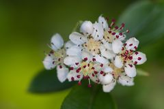 White Crataegus or hawthorn flower. Macro of white Crataegus or hawthorn flowers during springtime Stock Photos