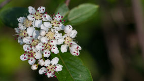 White Crataegus or hawthorn flower. Macro of white Crataegus or hawthorn flowers during springtime Royalty Free Stock Images
