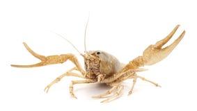 White crayfish. Royalty Free Stock Images