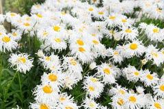 White crazy ox eye daisy background stock photo