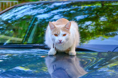 White and cream colored cat with amber eyes Stock Photography