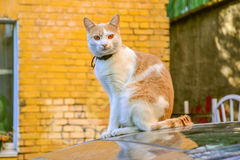 White and cream colored cat with amber eyes sitting on the car Royalty Free Stock Photo