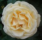 White/Cream Full Head Rose Flower Bloom Royalty Free Stock Photos