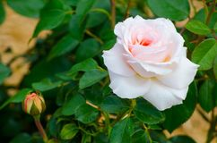 one single pink rose on white stock photo   image of
