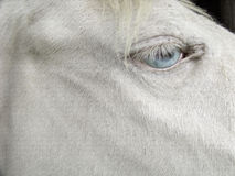 White cremello horse blonde mane blue eyes Royalty Free Stock Photos