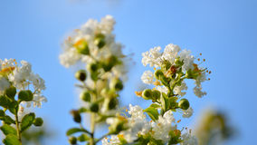 White crepe myrtle bloom closeup, letterbox Stock Image