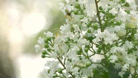White Crepe Myrtle Flowers Bloom on Beautiful Day, 4K stock video