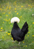 White Crested Black Polish Chicken Walking Away stock images