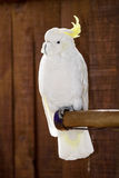 white Crested cacatua on the branch Stock Image