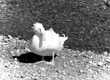 White Crested Domestic duck. Black and white white crested domestic duck Royalty Free Stock Photo