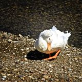 White Crested Domestic duck. With orange feet and beak looking Royalty Free Stock Photos