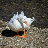 White Crested Domestic duck. With orange feet and beak looking Royalty Free Stock Image