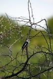 White-Crested Helmet-Shrike Stock Photo