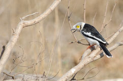 White-crested Helmet Shrike on branch Royalty Free Stock Photography
