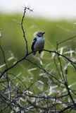 White-Crested Helmet-Shrike II Royalty Free Stock Photography