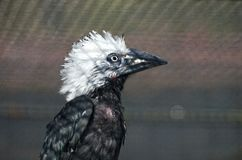 White-crested hornbill Royalty Free Stock Photo