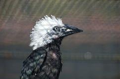 White-crested hornbill Royalty Free Stock Photo
