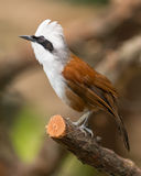 White-crested laughing thrush Stock Image