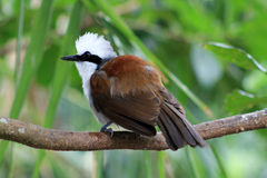 White-crested Laughing thrush Stock Photo