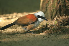 White-crested laughingthrush Stock Images