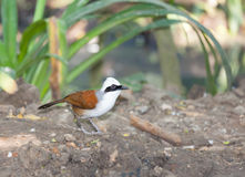 White-crested Laughingthrush bird standing on the ground Stock Photo