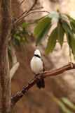 White-crested laughingthrush called Garrulax leucolophus Stock Photography