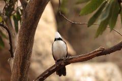 White-crested laughingthrush called Garrulax leucolophus Royalty Free Stock Photo