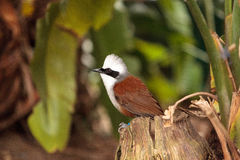 White-crested laughingthrush called Garrulax leucolophus Stock Images