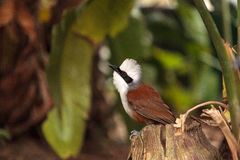 White-crested laughingthrush called Garrulax leucolophus Royalty Free Stock Image
